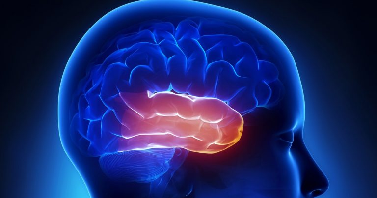 Temporal lobe: anatomy, functions and characteristics