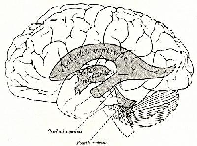 Third diencephalon ventricle