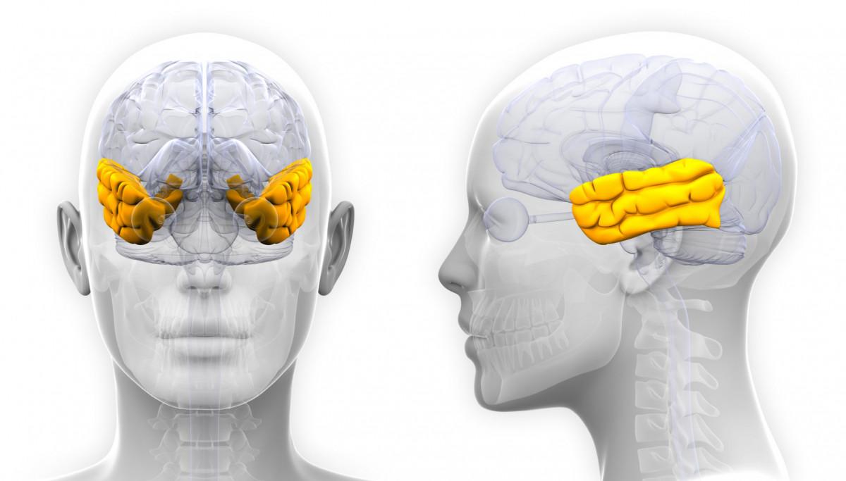 Temporal lobe of the brain