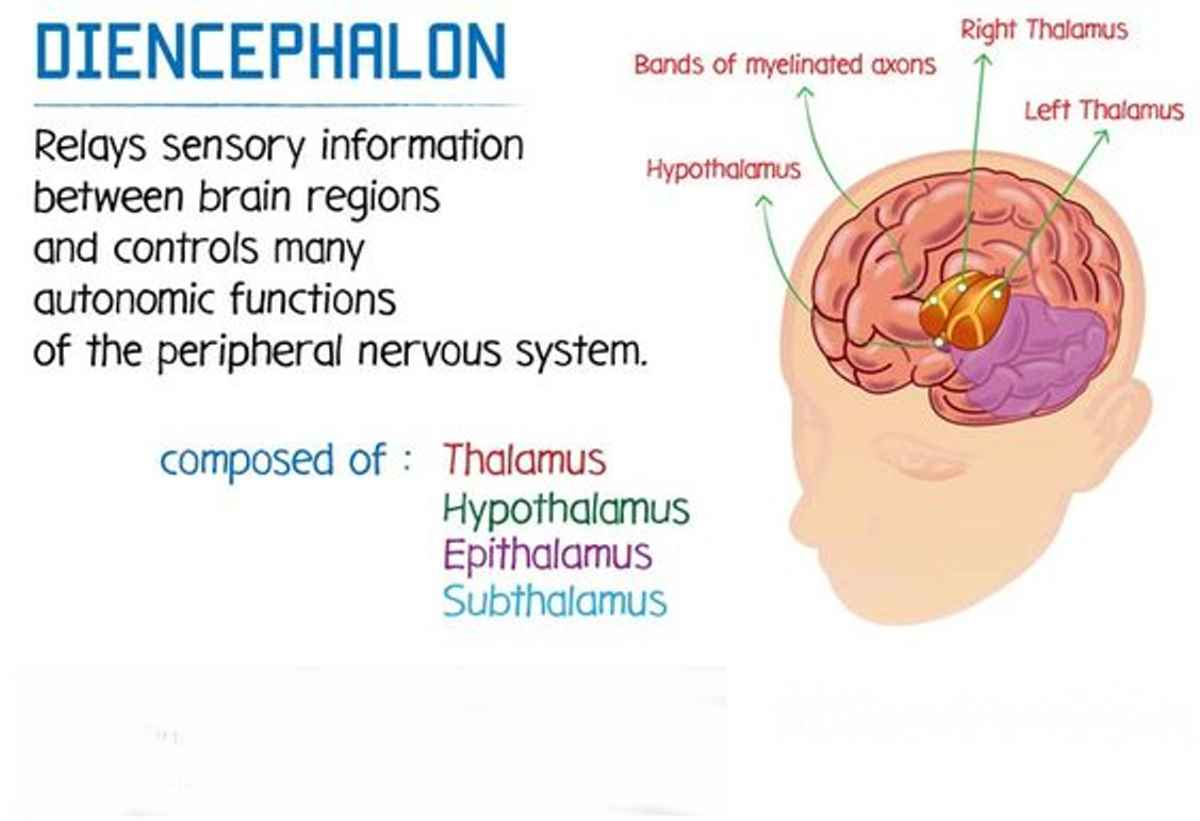 The Diencephalon: Structure and Function of this Brain ...