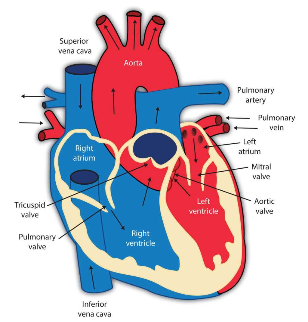The 18 parts of the human heart, and their functions ...