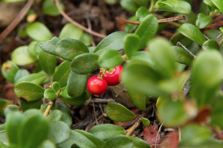 Bearberry, most important properties and benefits